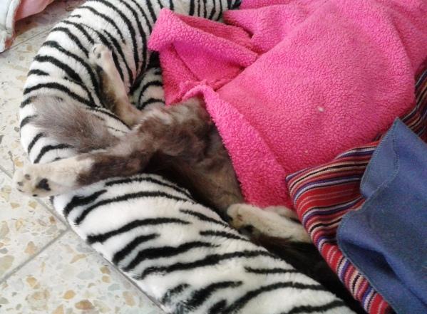 Sleeping kitty, post-op.