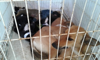 "Mother ""Lu"" with her pups awaiting their surgeries."