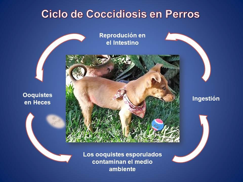 Ciclo de Coccidiosis en Perros