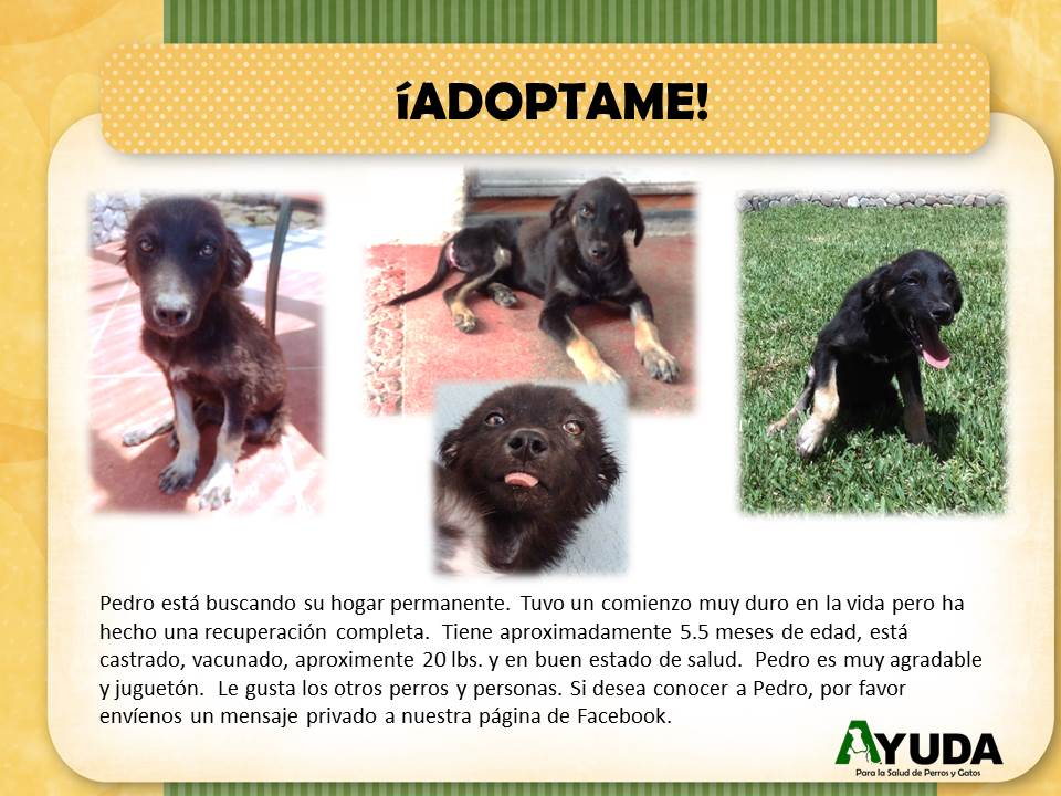 Ad.Adoption.Pedro.Aug2020